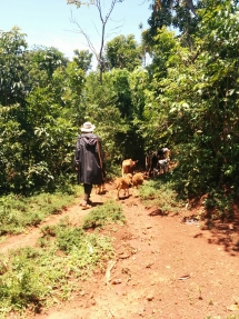 Ein Bauer aus der Region treibt seine Tiere vor sich her